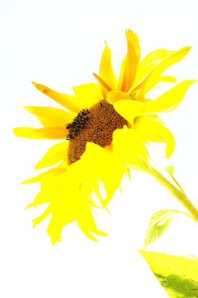 Sunny Day Sunflower