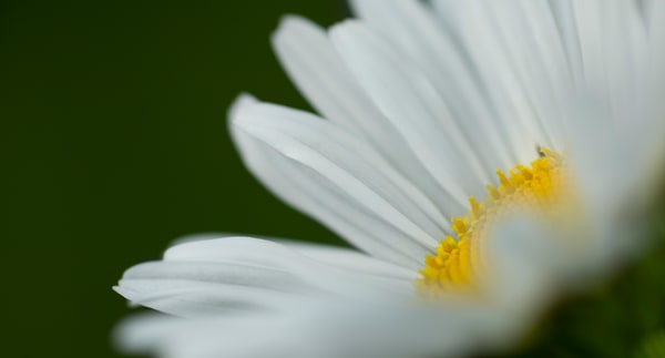 close up of Oxeye daisy