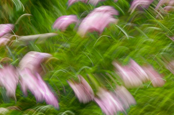 Motion blur of peony flowers