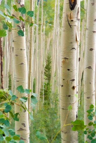aspen trees with painterly effect