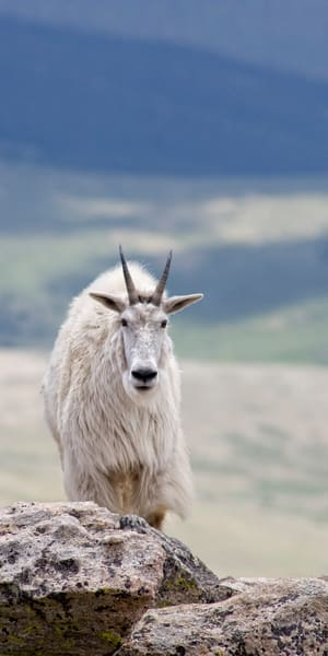 A Solitary Mountain Goat