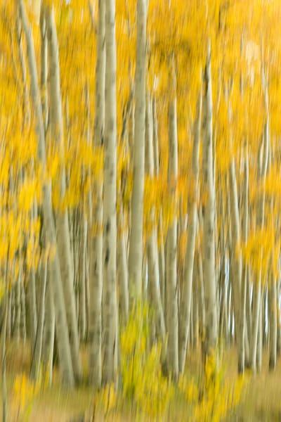 motion blur of an aspen grove