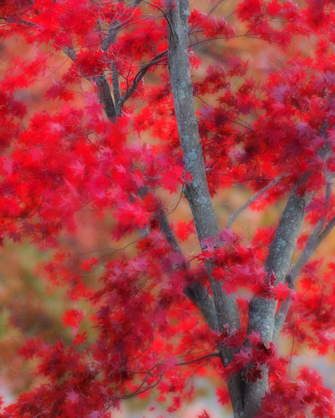 A Japanese Maple Red