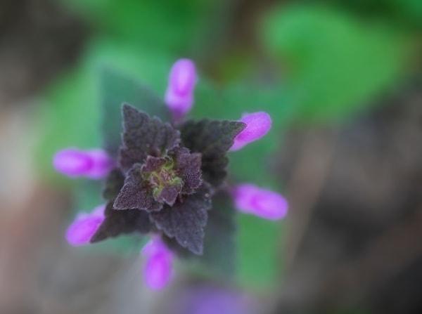 Spring New Hampshire wildflower