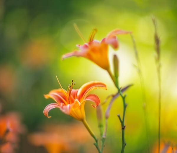 Soft spring lilies