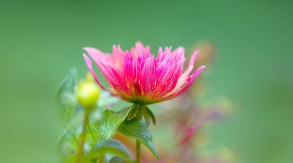 One pink flower
