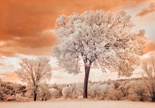 Old Concord Road - favorite tree - in IR
