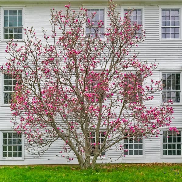 Shaker Village Pink Dogwood in Bloom