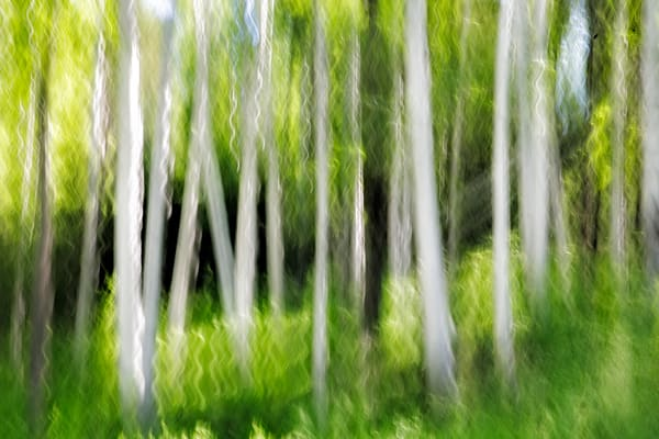 New Hampshire Birch tree pan blur abstract
