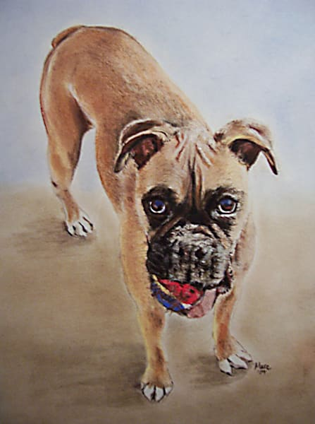 Boxer dog portrait with tennis ball.