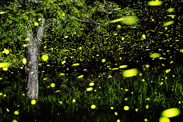 Fireflies of the Ozarks