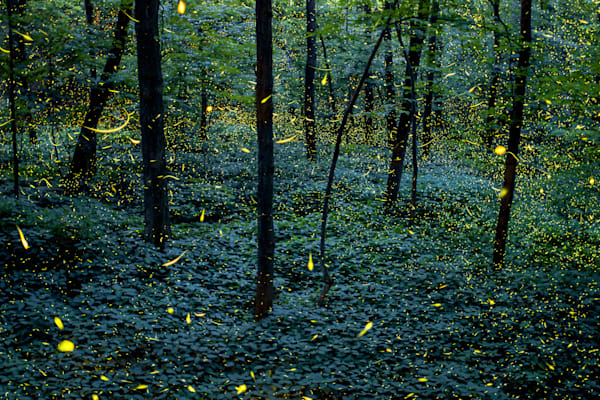 Fireflies of Fitzgerald - Grand Ledge, MI