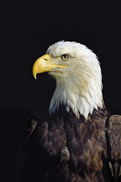 Bald Eagle Art | Cunningham Gallery