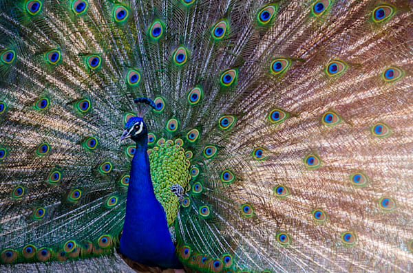 Backlit Peacock Photograph for Sale as Fine Art.