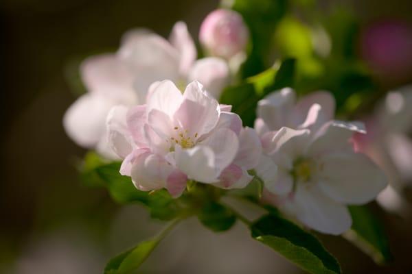 Delicate pink fragrant Apple blossoms - fine art photograph