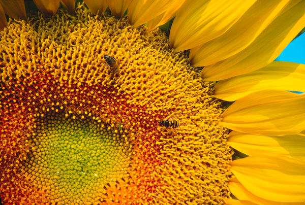 Close-up of sunflower head and busy insects - fine art photograph