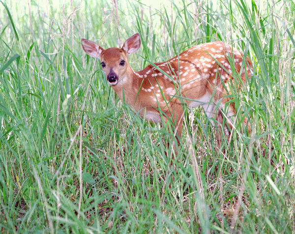Cute little white-tail deer fawn in shade - fine art photograph