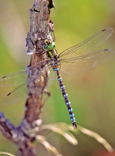 Resting Green-striped Darner Dragonfly - fine art photograph