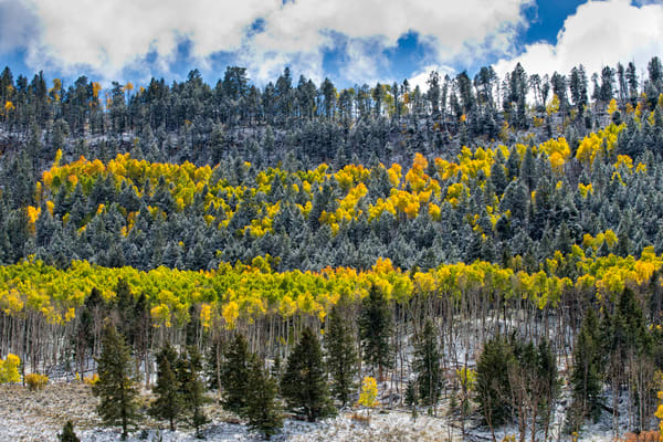 Autumn aspens mixed with ponderosa trees covered with a light snow.