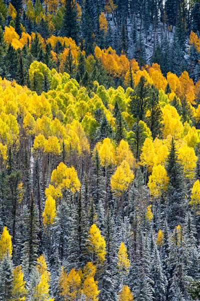 Hillside of autumn aspens mixed with ponderosa trees covered with a light snow.