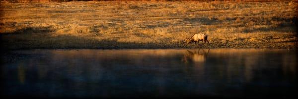 Elk grazing at sunrise along a lakeshore.