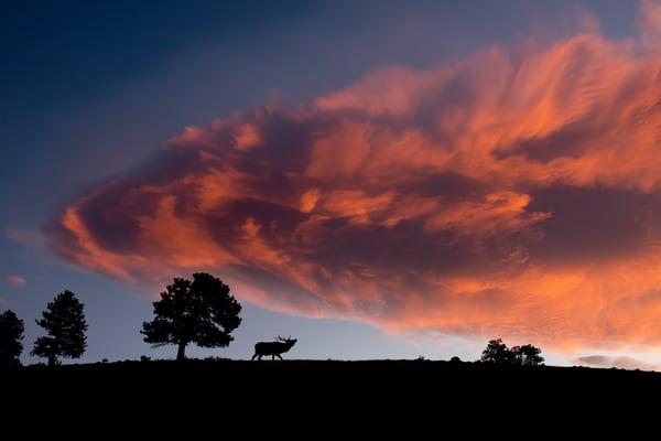 A single bull elk walking across a ridge with a fiery cloud in the sky.
