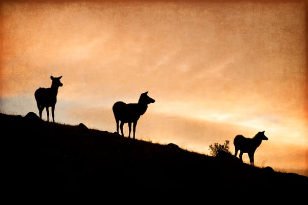 Three cow elk on a ridge look off to the valley.