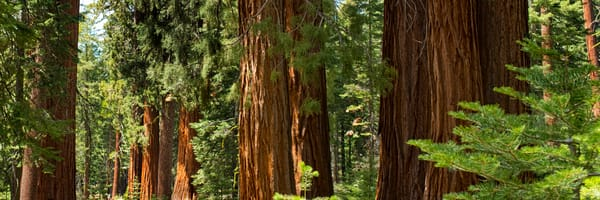 Giant sequoia trees in Maraposa Grove, Yosemite.