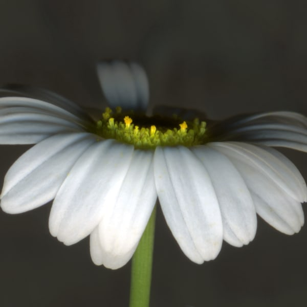 Portrait of a Daisy - floral scanner photography for sale as fine art prints