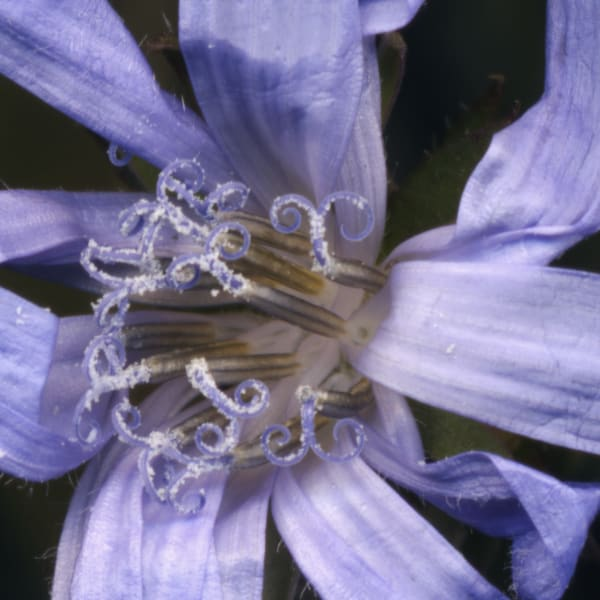Chicory - enlarged blue flower photograph for sale as fine art prints