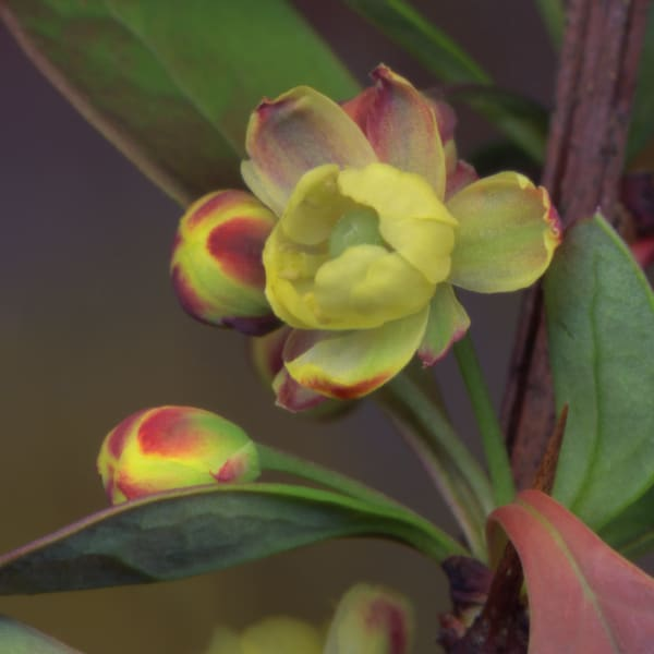 Barberry Blossom - floral scanner photography for sale as fine art prints
