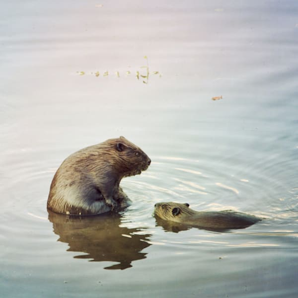 Beaver with Baby Photograph - for sale as fine art prints