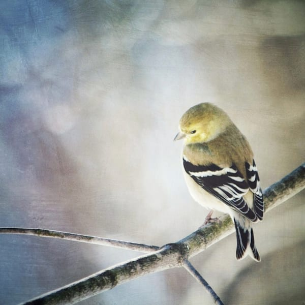 Goldfinch Bird Photograph - for sale as fine art prints