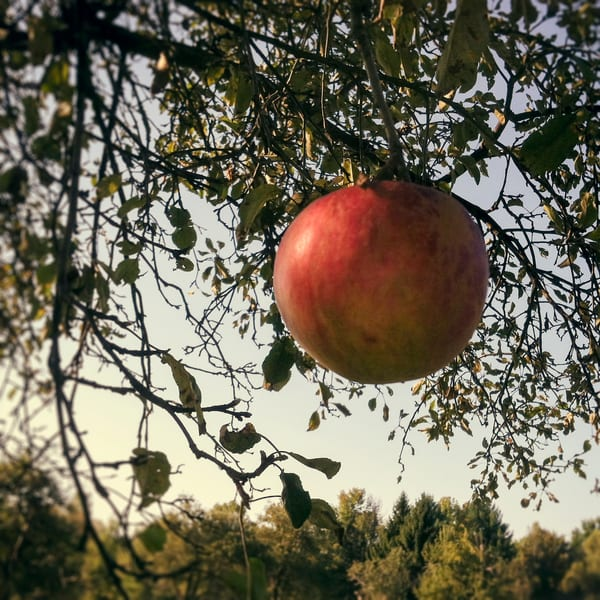 Apple In Morning Light Photograph - for sale as fine art prints