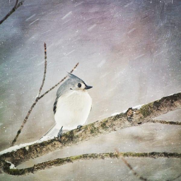 Tufted Titmouse Bird Photograph - for sale as fine art prints