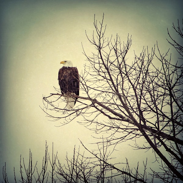 Bald Eagle on Bare Branches Photograph - for sale as fine art prints