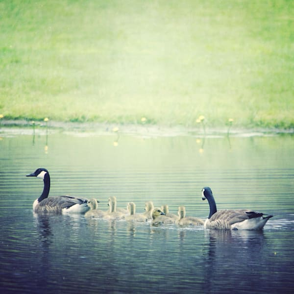 Geese with Babies Photograph - for sale as fine art prints