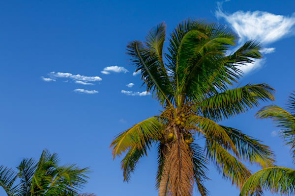Palm Tree - Tropic Art | William Drew Photography