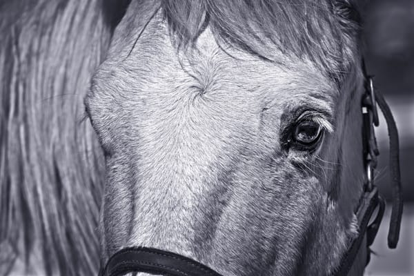 Civil War Pony Closeup Monochrome Realistic Historic fleblanc