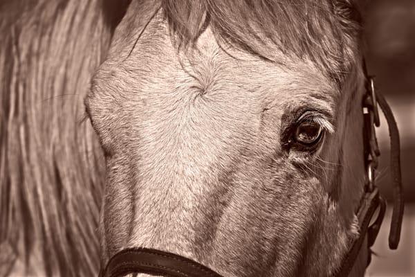 Civil War Pony Vintage Closeup Sepia| Realistic Historic fleblanc