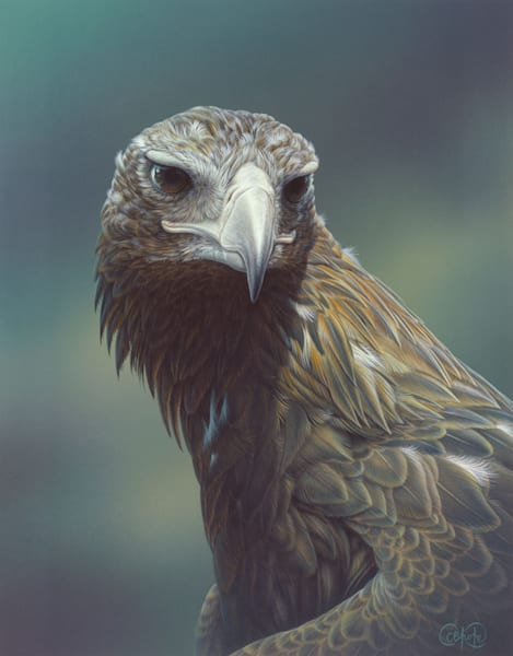 Wedge-tailed Eagle 1