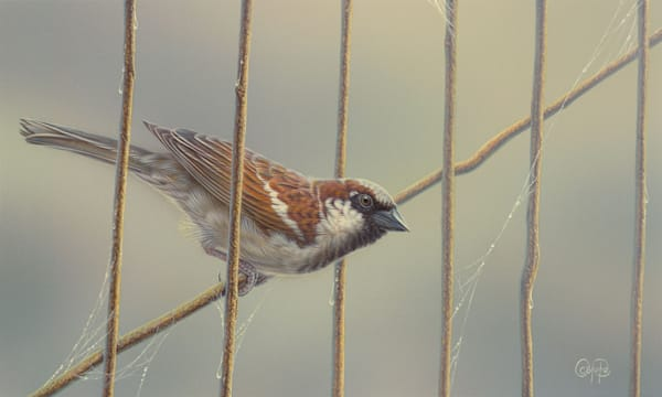 House Sparrow by Christoper Pope.