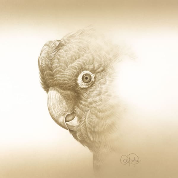 Yellow-tailed Black Cockatoo Study #3