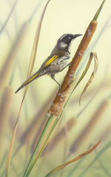 New Holland Honeyeater and Reeds