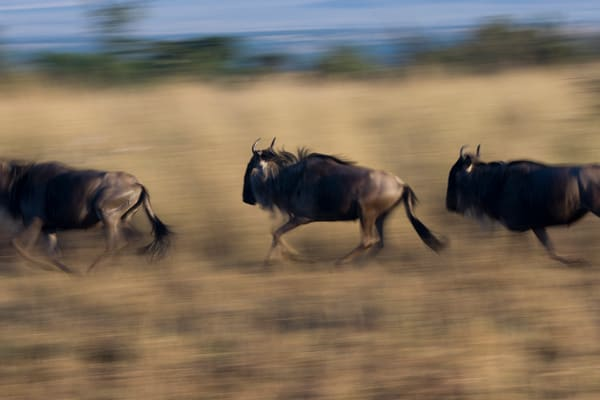 Wildebeest on the run II, Tanzania