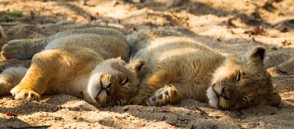 Lion Sleeping Sigblings, South Africa