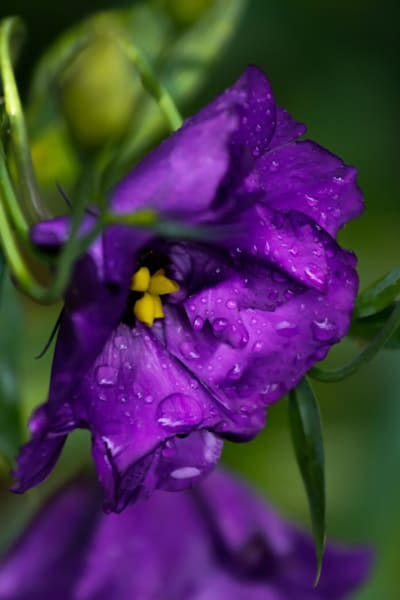 Purple Rain Photography Art by Beth Houts Photography