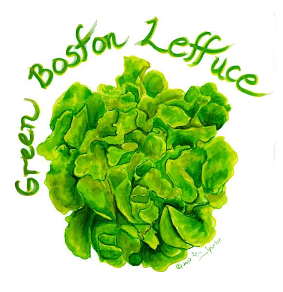 Watercolor Painting of Boston Bib Lettuce