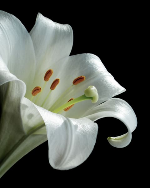 Portrait of a Lily