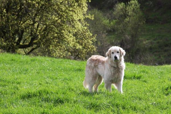 Farm Dog Working